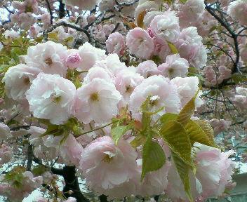 八重桜満開 '08