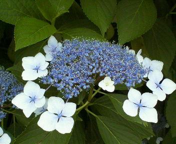 紫陽花2008-1