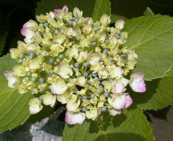 紫陽花2008-2