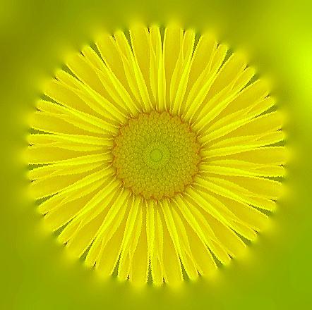 黄色の菊/イラスト万華鏡702