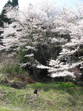 大桜とぼく
