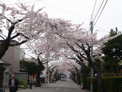 桜ケ丘の桜並木