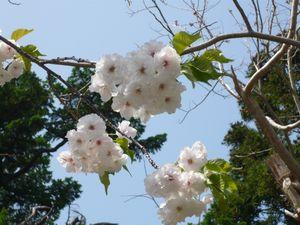 光善寺白八重桜