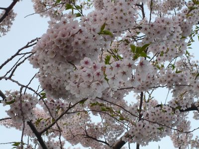 配水場の桜‐3