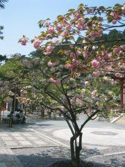 境内に咲く桜・鞍馬寺
