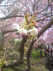 原谷苑御室桜2