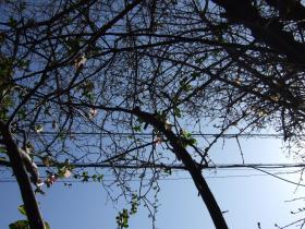 2008_Mar0087木瓜
