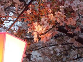2008_0405spring_sakura0198.jpg