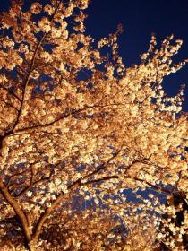 2008_0405spring_sakura0232m.jpg