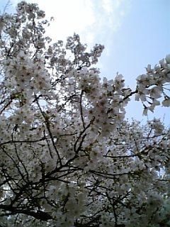 碑文谷公園入り口の桜
