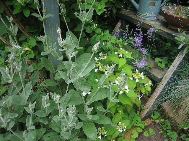 リクニスと山紫陽花
