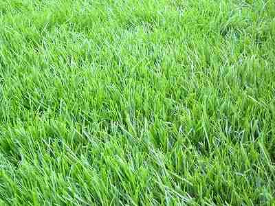 虎刈りの芝