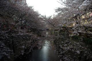 20080405_sakura06.jpg