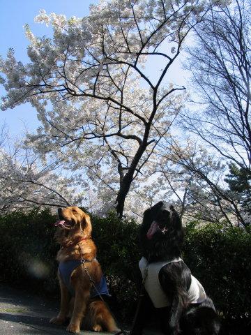 ちぇりちゃむと桜