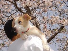 20080412_0004 Arrow・純生 桜