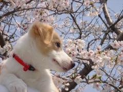 20080412_0008 Arrow 桜