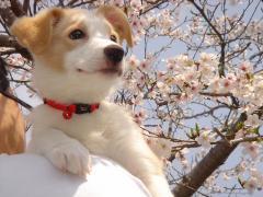 20080412_0009 Arrow 桜