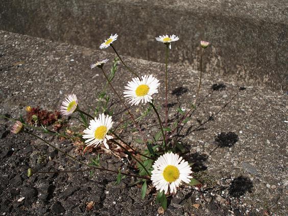 コンクリ花