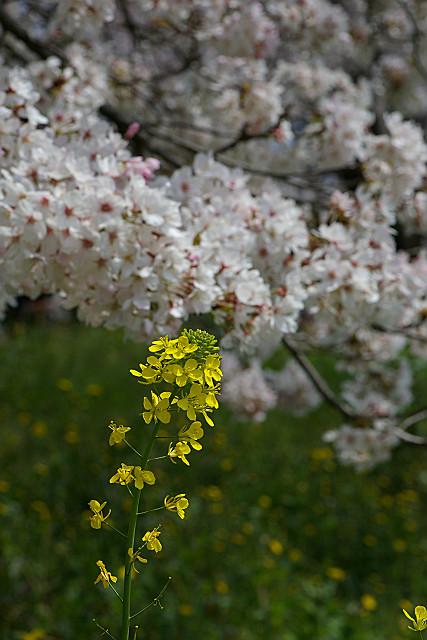 菜の花とコラボ