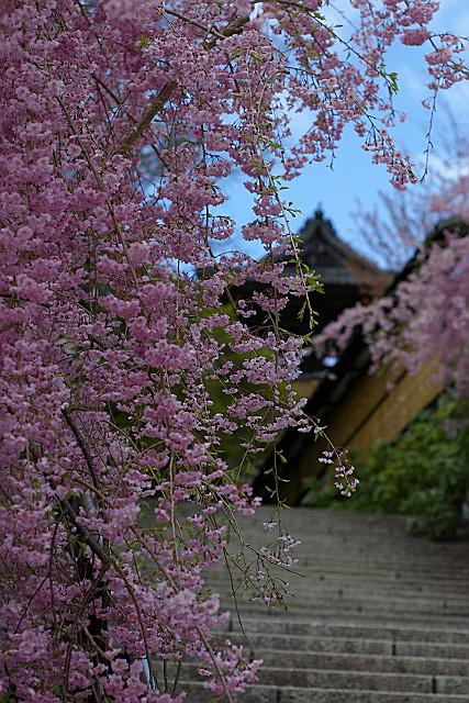 鐘楼と紅枝垂れ桜