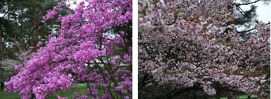 ツツジ&桜