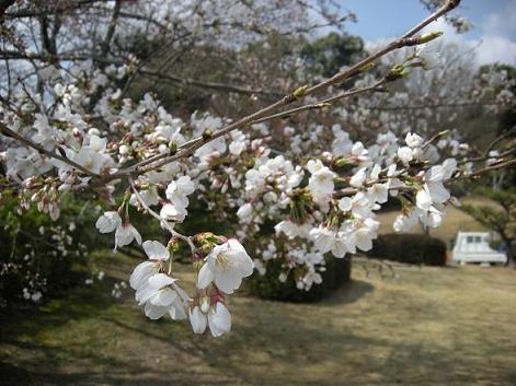 桜2 ブログ用