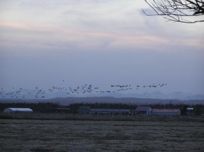 雁の群れ(08・3)