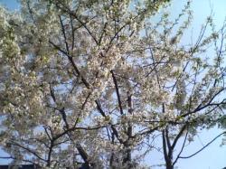 昨年(2007年)の桜(エゾ山桜)