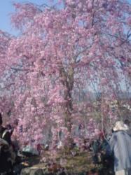 今年(2008年)4月6日の京都嵐山