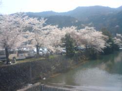 旭川のお花見はゴールデンウィークかな?