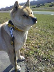 北海道犬のアール 10才 女の子