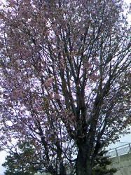 家の近所の公園では、エゾ山桜が満開(*^_^*)