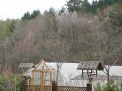 庭と畑の向こうには桜が咲いて・・・(*^_^*)