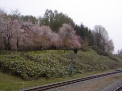 連休中は桜満開\(^O^)/