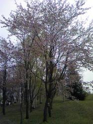 国道から入ってすぐの場所にも見事な桜