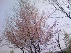 5月4日の塩狩峠 桜が満開・・・を過ぎたところでした(^^ゞ
