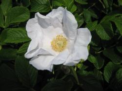 白いはまなすの花 きれいですね♪