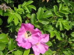 ピンクのはまなすには蜂が・・・(^^ゞ