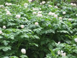 ジャガイモ畑は花盛りです(^^)