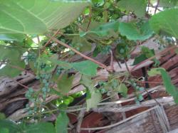 お店の前にはブドウ棚 実がついています(*^_^*)