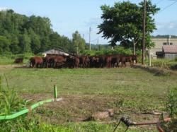 オサラッペ農場で育てている「短角牛」