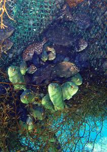 流れ藻の住民