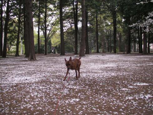 代々木桜じゅうたん