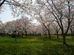 桜広場IMG_0129