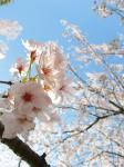 桜2IMG_0091