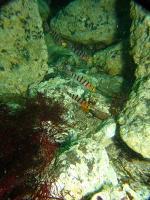 キヌバリ幼魚1