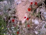 海のそばで咲いていたけしの花