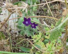 ギリシャの草花10