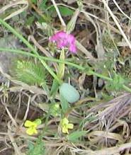 ギリシャの草花11