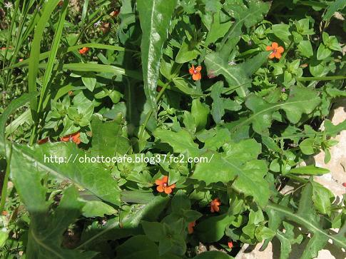 ギリシャの草花1:Scarlet Pimpernel